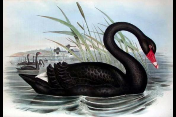 cygne noir tsahal black swan